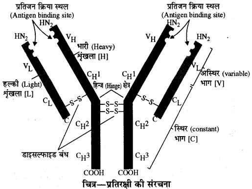 प्रतिरक्षी की संरचना को समझाइए RBSE